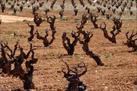 Fotografía de la noticia: CLaMancha autorizará el uso de plantas no certificadas para reestructurar las viñas