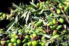 Fotografía de la noticia: Las almazaras y cooperativas de la D.O. Sierra Mágina adelantan la cosecha