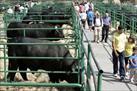 Fotografía de la noticia: Ni la exportación logra frenar los precios de un vacuno de carne que sigue a la baja