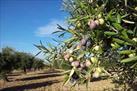 Fotografía de la noticia: Cooperativas espera este año una producción de aceite de oliva en CLM un 70% inferior