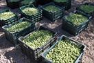 Fotografía de la noticia: La campaña andaluza de verdeo de la aceituna de mesa arranca con malas previsiones