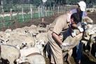 Fotografía de la noticia: Organizaciones agrarias y cooperativas piden la vacunación obligatoria de la lengua azul