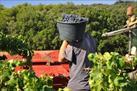Fotografía de la noticia: Se entregará la uva en Valdepeñas pero con una demanda colectiva por nulidad de contrato