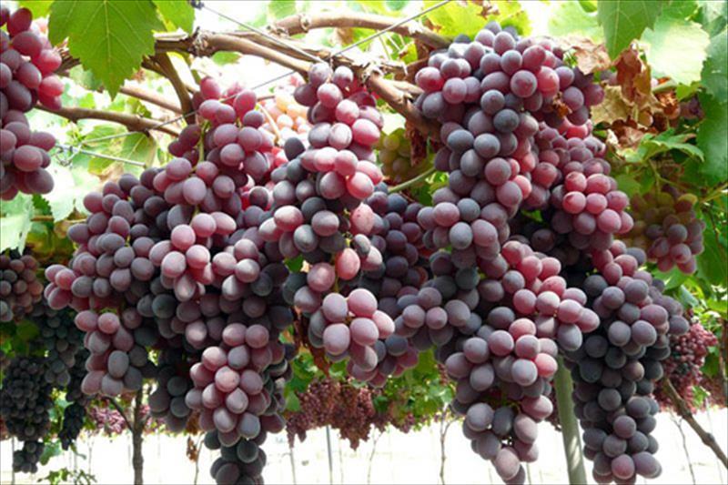 Estimaci n de cosecha de la uva de mesa sube un 16 respecto 2012 con tns agroinformacion - Variedades de uva de mesa ...