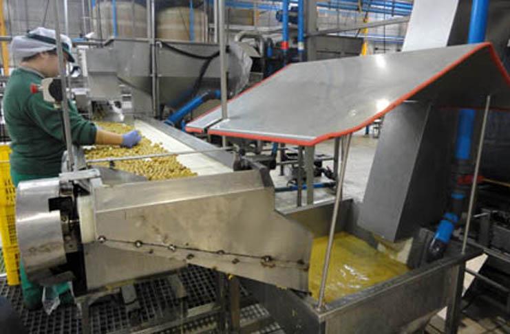 España producirá la mitad del aceite de oliva mundial en la próxima campaña