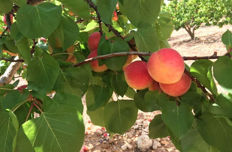 La fruta de verano cierra su campaña con un descenso de entre un 20% y un 30% de la producción