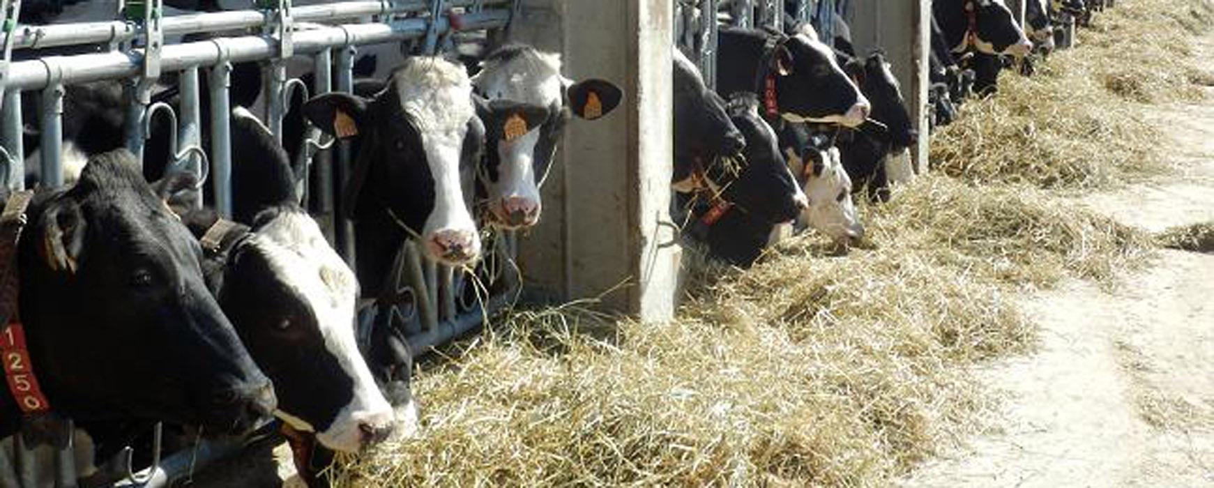 Lacturale usa música en su granja láctea y logra 5 litros más de leche al día por vaca