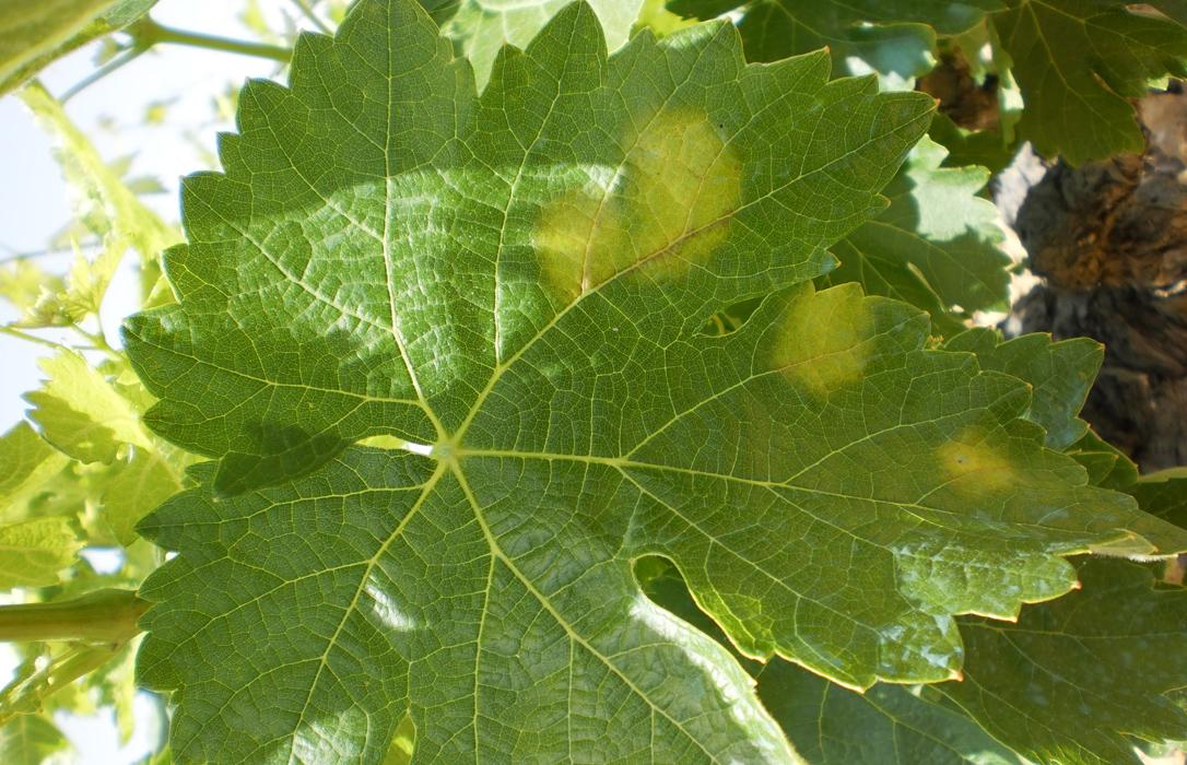 Viticultores del Condado de Huelva pierden el 40% de la cosecha por el Mildium