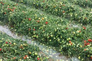agroseguro tomate 2