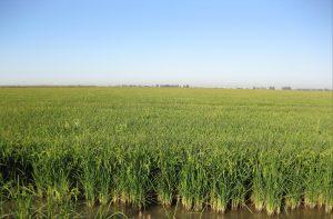 arroz 3