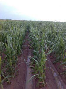 granizo extremadura maiz 2