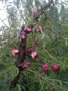granizo fruta extremadura