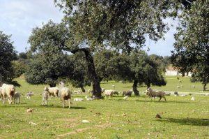 dehesa con ovejas