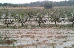 Una vinya de la Terra Alta afectada per la pedregada d aquesta matinada  el 10 de setembre del 2016  Horitzontal