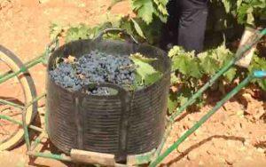precios de la uva