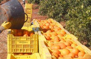 Los agricultores de la Costera temen perdidas en la cosecha de naranjas. 3-2-2006. Pepe Català