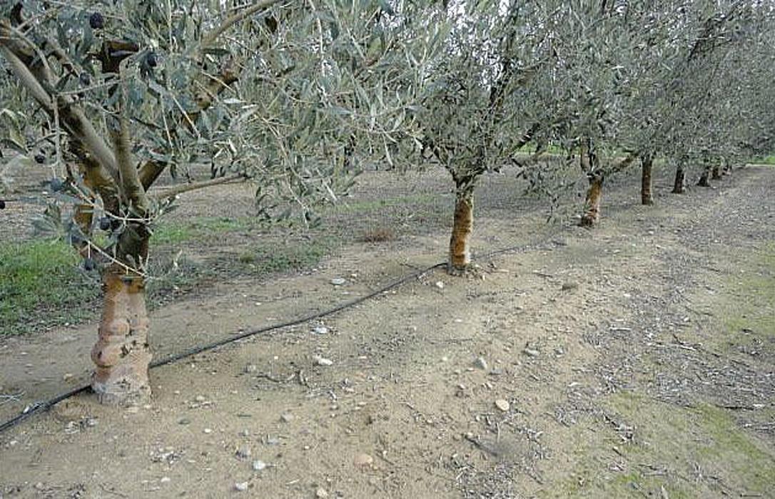REUTIVAR: identificando la mejor tecnología de regeneración de agua para el olivar