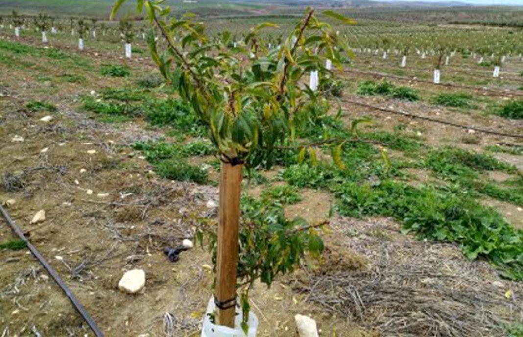 La proliferaci n de plantones de almendros de viveros for Plantas precios viveros