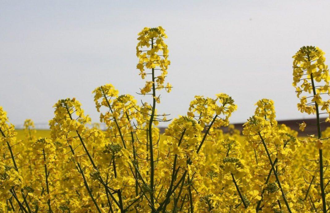 La colza florece de nuevo en Castilla y León como alternativa al aceite de palma al dispararse su cultivo un 760%