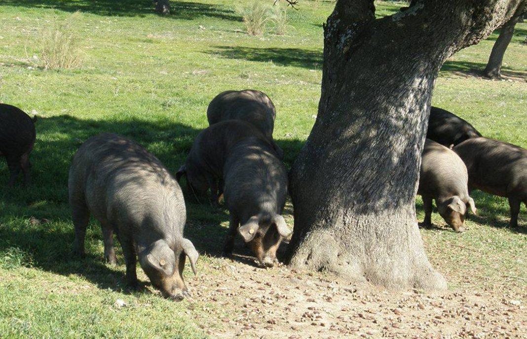 ENTREVISTA. A. Prieto (ASICI): «El Covid no ha cerrado explotaciones de cerdo ibérico pero hay un retroceso en las ganancias»