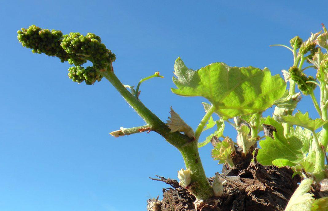 La DO La Mancha destaca el adelanto y el desarrollo favorable de la floración del viñedo