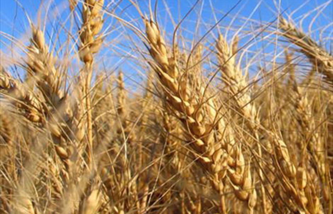 El trigo blando y la cebada siguen tirando al alza los precios de los cereales, donde solo baja el maíz