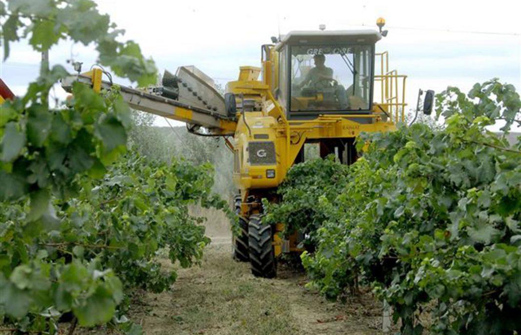 La vendimia en Extremadura se verá reducida hasta un 35% por la escasez de lluvias y el calor