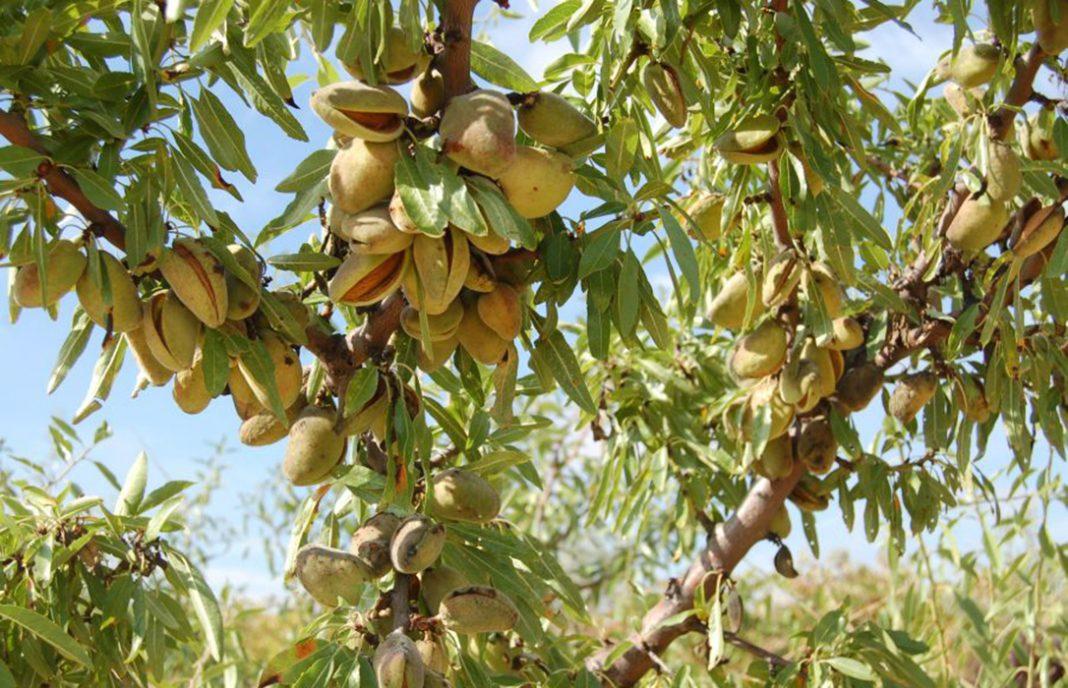 Mientras se mitifica el cultivo de la almendra, su cotización consolida el descenso de sus precios
