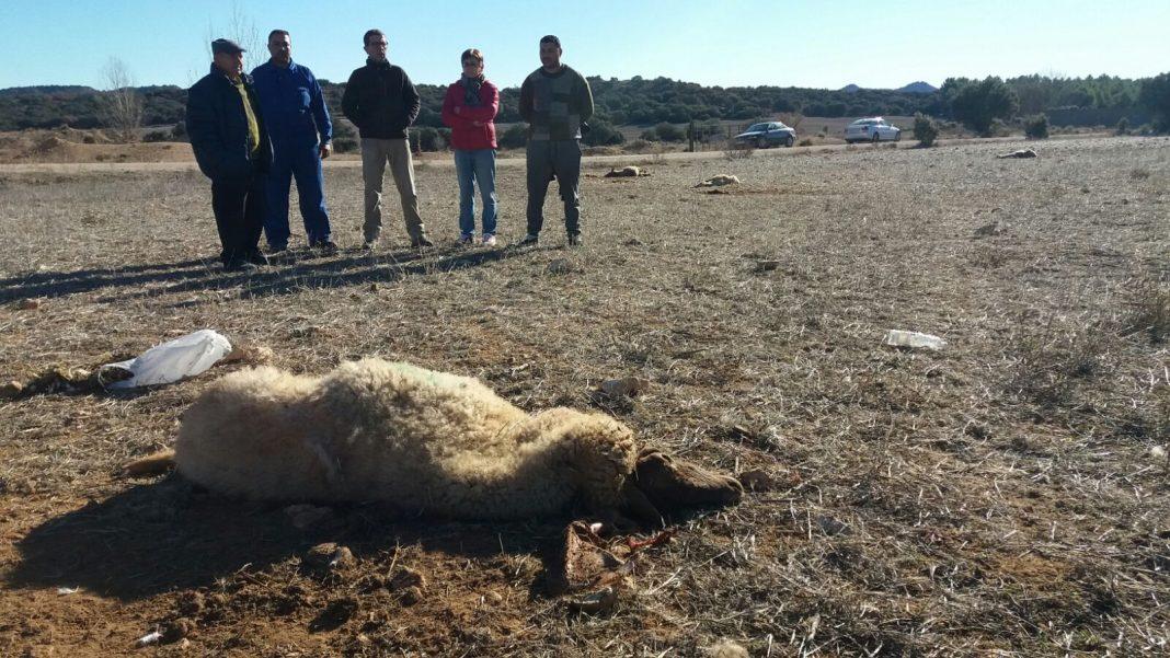 Indignación por el envenenamiento de 70 ovejas y bajo sospecha un anciano de 85 años