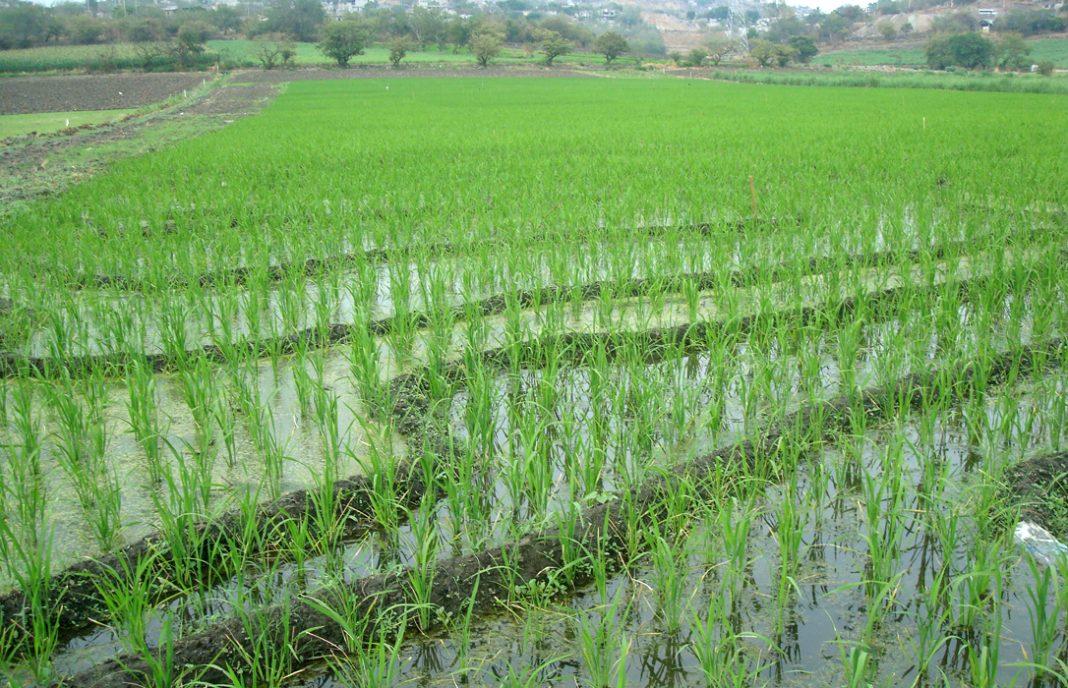 Denuncian que los productores de arroz pagarán un 23% más de IRPF que el resto de cerealistas en 2018