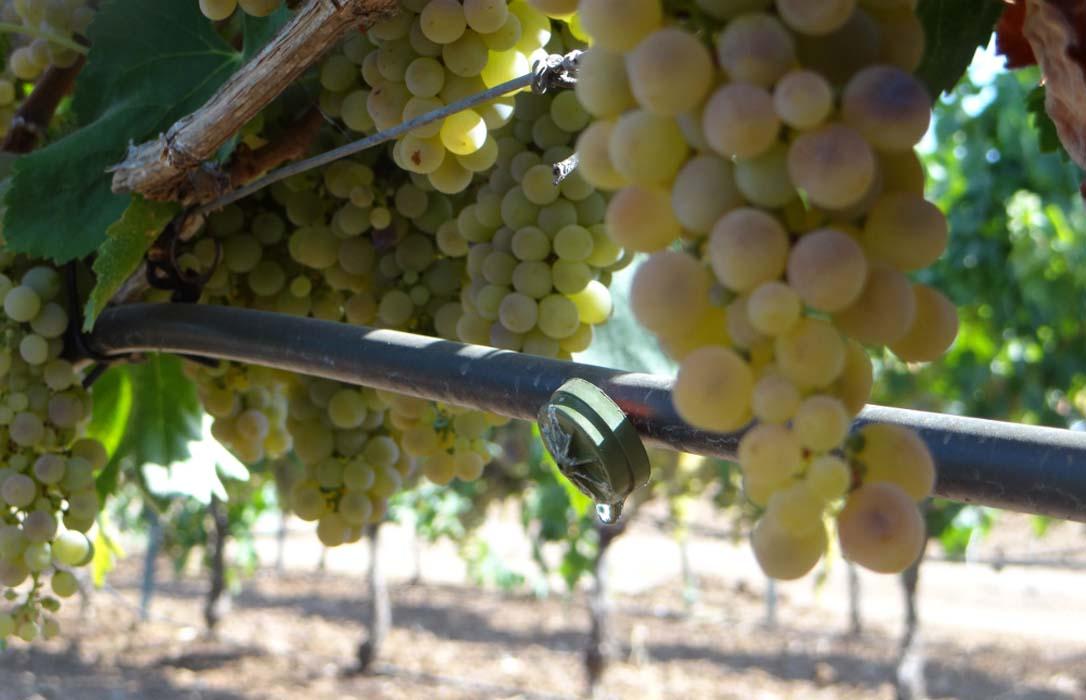 La publicación de las nuevas plantaciones de viñedo pone fin a la guerra del cava y deja fuera de combate a productores extremeños