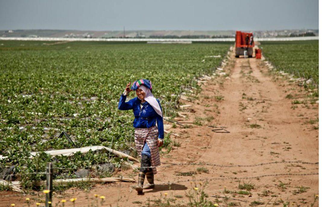 El sector del tomate de la UE pide más control fitosanitario para las importaciones marroquíes