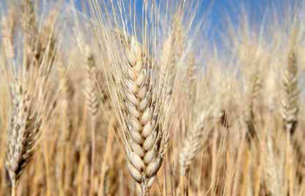 Maíz y trigo duro, los únicos cereales que han subido de precio (y solo un 3%) en el primer semestre del año