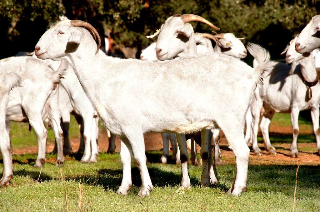 Ponen en marcha un proyecto de innovación promueve la mejora en la gestión del caprino andaluz