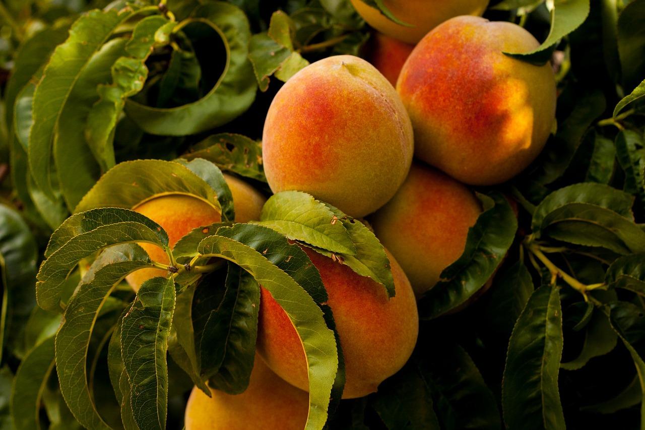 Prevén un descenso del 9% en la campaña de fruta de hueso con respecto a la del año pasado