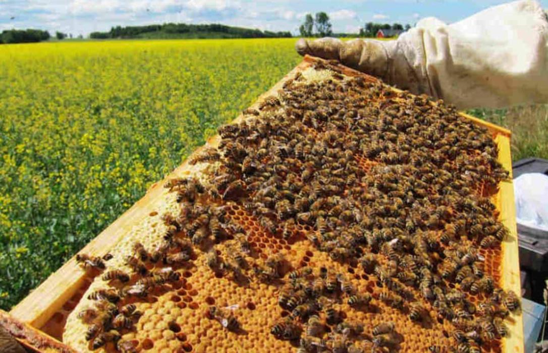 El Tribunal de la UE golpea a Bayer y Syngenta: Avala limitar el uso de insecticidas por las abejas
