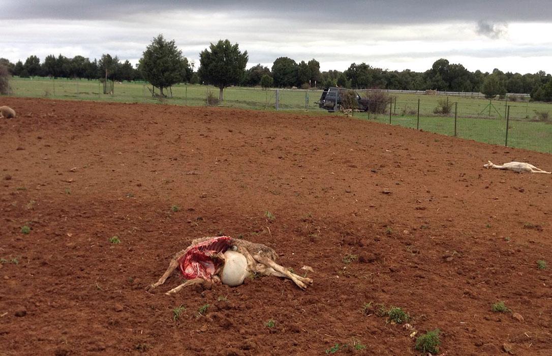 Seis ovejas muertas y veinte heridas en un nuevo ataque de los lobos en Arcones (Segovia)