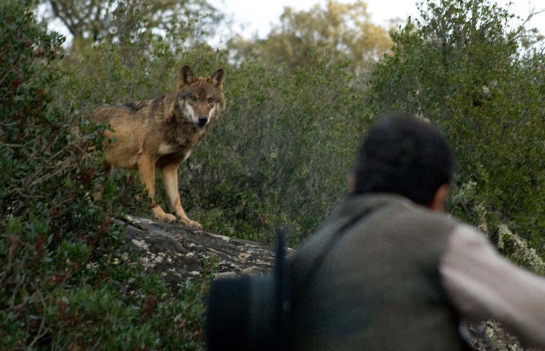 La justicia paraliza de forma cautelar la caza del lobo al norte del Duero