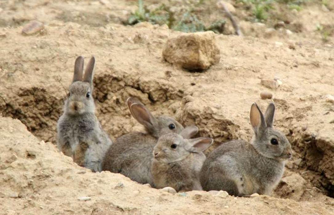 La Plataforma de damnificados por la plaga de conejos convocará tractoradas ante la «ineficacia» de la Junta de CLM