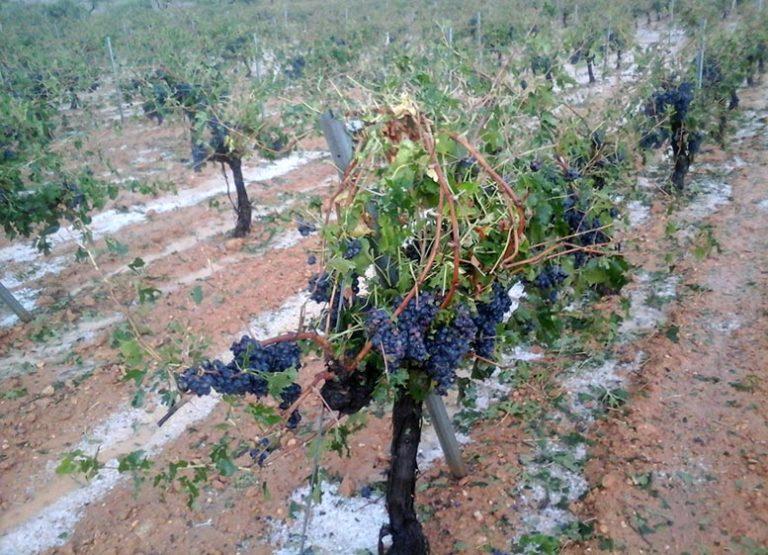 El pedrisco causa estragos también en la zona de Utiel Requena provocando daños en viñedo, olivar y cerezas