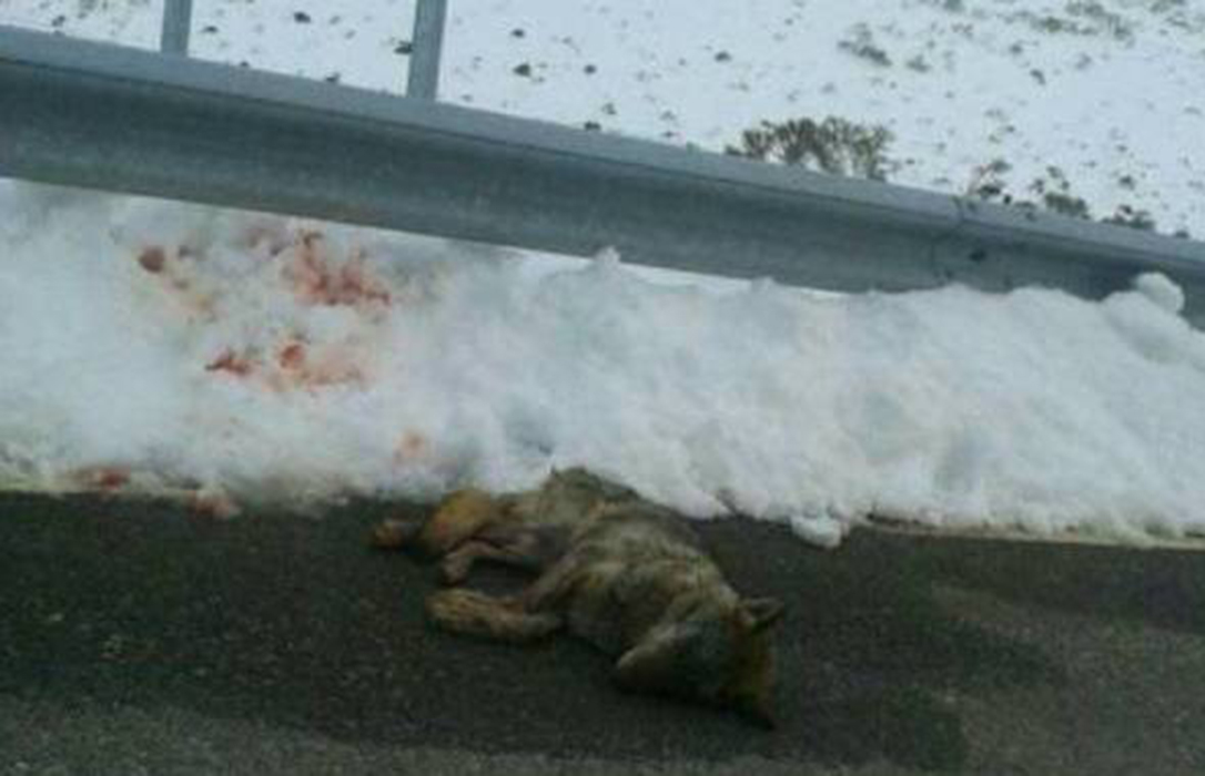La Guardia Civil investiga la muerte por atropello de un lobo en la Sierra de Gredos