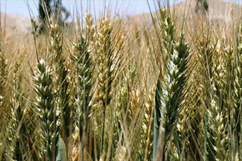 Prevén casi 10 millones de ton. de cebada, más de 7 de trigo y rozando casi el millón y medio en trigo duro