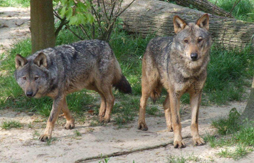 Castilla y León niega un «varapalo judicial» sobre la caza del lobo hasta que el fallo sea firme y se resuelvan los recursos
