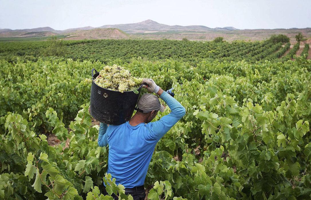 Prevén un aumento del 15 % en la vendimia de este año en el Condado de Huelva, a pesar del mildiu y el oídio