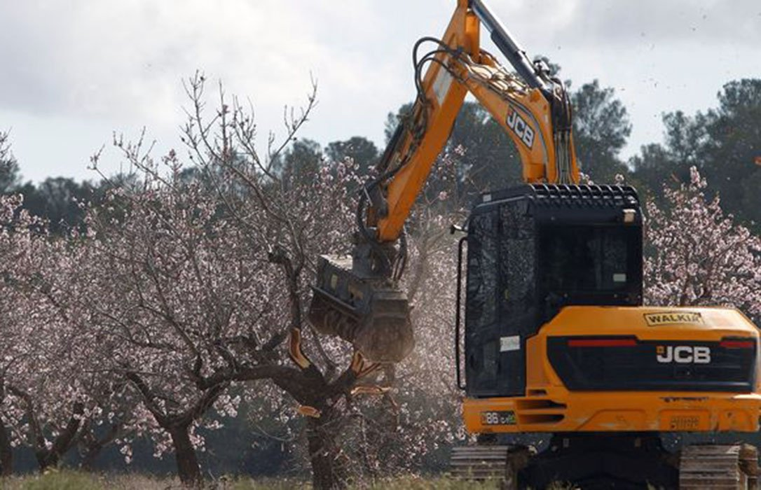 Aplicar el protocolo de erradicación del décimo brote de Xylella significará arrancar la totalidad de almendros del norte de Alicante