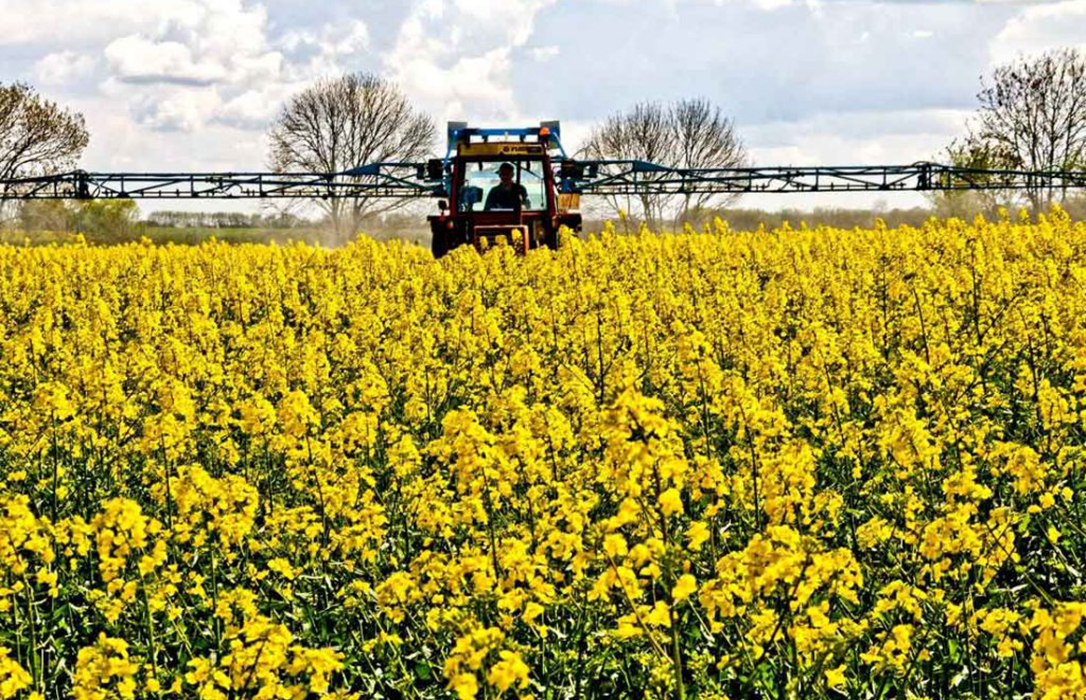 El sector tira la toalla y da por perdida la siembra de colza en secano como cultivo alternativo