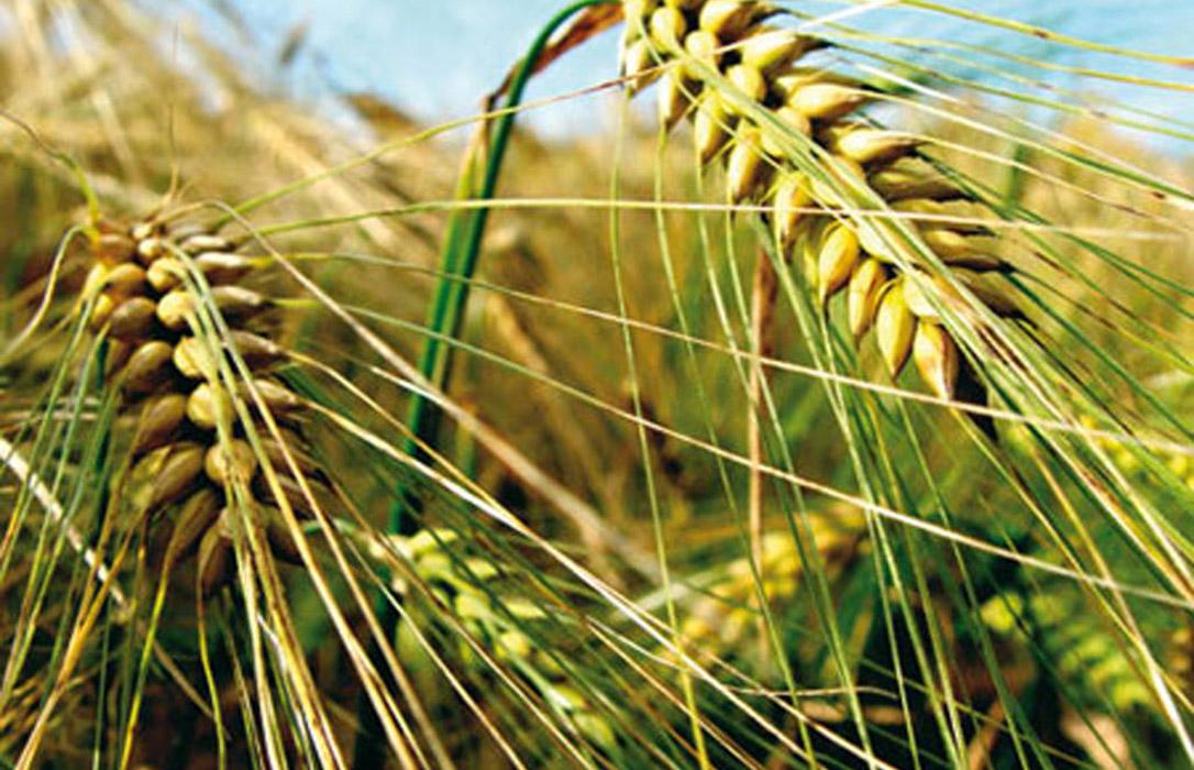 Las lonjas disparan el precio de la cebada mientras que el trigo baja levemente