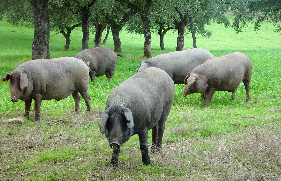 Productores e industriales del cerdo ibérico extensivo se enfrentan a Asici y rechazan cambiar la Norma