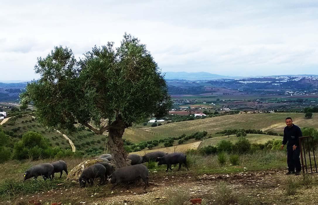 Innovación y relevo generacional en el ibérico: Una explotación de Arcos cría de cerdos ibéricos puros entre olivos