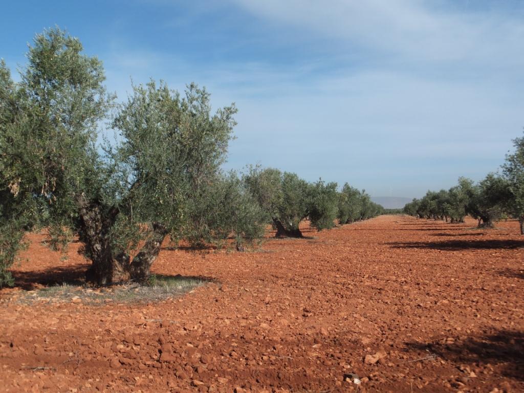 La CH Guadalquivir autoriza 1,2 millones de m3 de agua para 850 nuevas hectáreas de olivar